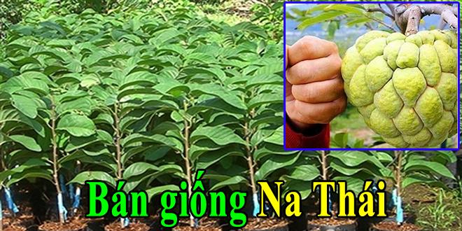 Bán giống na Thái Lan năng suất trái tốt ít hạt