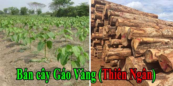 Bán giống cây gáo vàng Thái Lan giá cạnh tranh