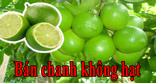 ban chanh khong hat