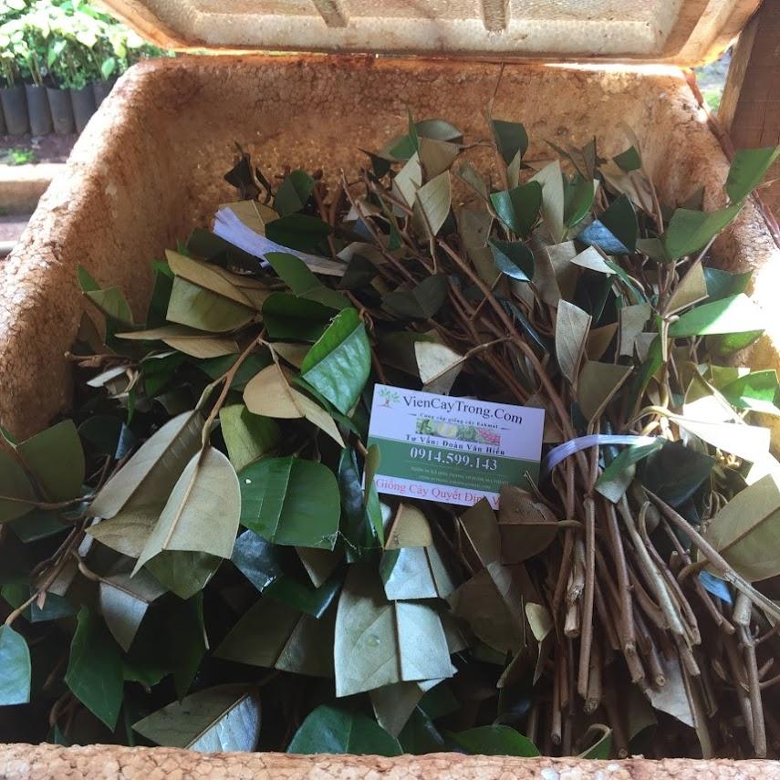 Chồi sầu riêng Dona (Monthong Thái Lan) đã về tới vườn ươm