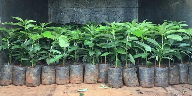 Xuất vườn 300 cây bơ 034 đi Đồng Nai