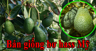 ban giong bo hass