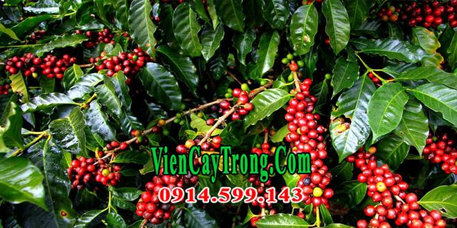 Bán giống cây cà phê vối ghép giống TR9 chống chịu sâu bệnh