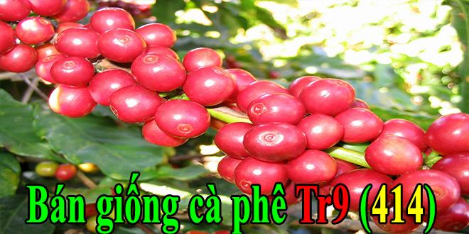 Bán giống cà phê vối Tr9 năng suất cao thích nghi tốt