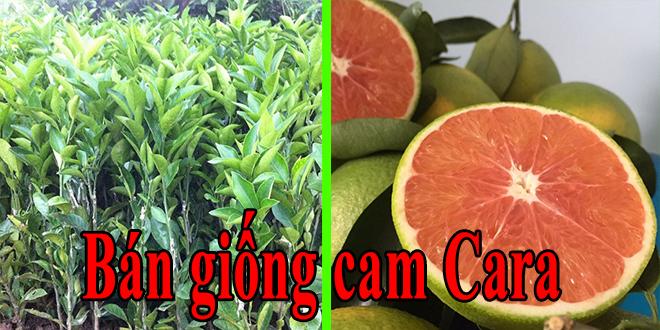 Bán giống cam ruột đỏ không hạt – Viện cây trồng Eakmat