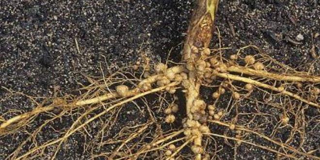Cách phòng trừ hiệu quả bệnh thối rễ ở cây bơ