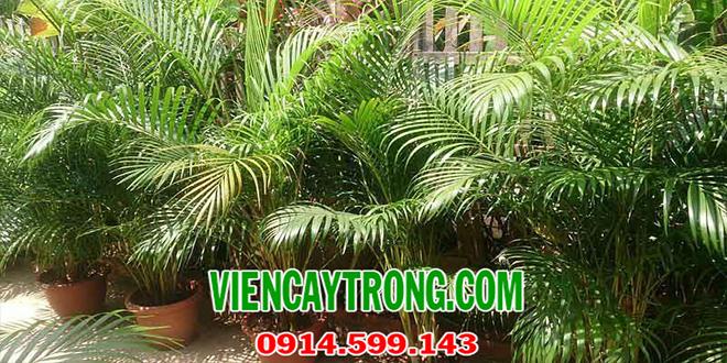 Phương pháp phòng trừ sâu bệnh phổ biến trên cây cau