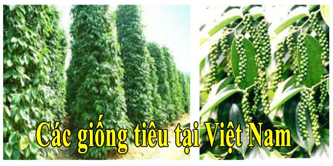 Một số giống tiêu phổ biến ở Việt Nam