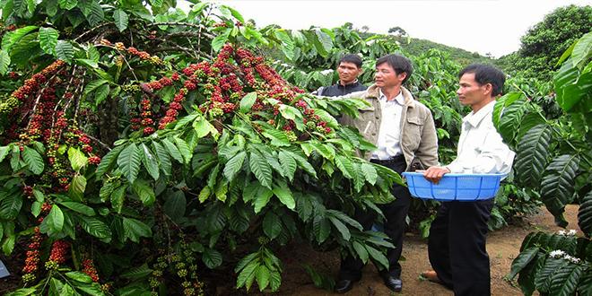 Cách trị mối cho cây cà phê hiệu quả giá thành rẻ