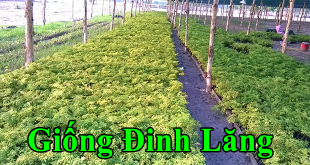 giong dinh lang