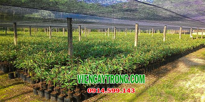 Nhận hợp đồng sản xuất giống cây sầu riêng đầu dòng