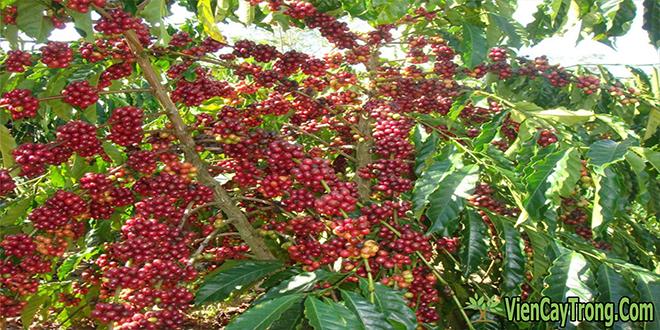 Kỹ thuật trồng, chăm sóc và thu hoạch cây cà phê