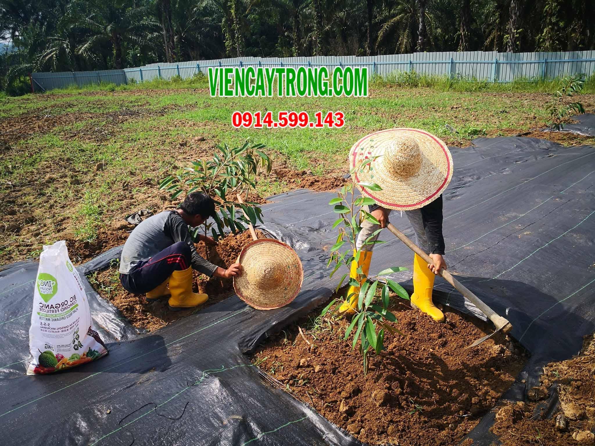 Mô hình trồng sầu riêng Musang King