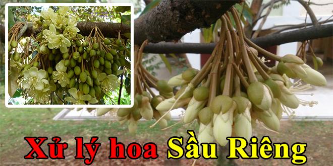 Chăm sóc cây Sầu Riêng (Xử lý ra hoa – Giữ trái) đúng kỹ thuật