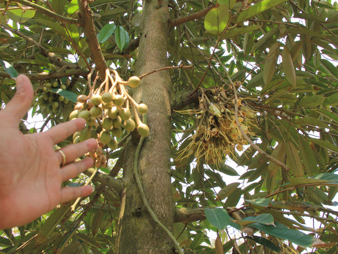 Hướng dẫn tưới và tiêu nước cho cây sầu riêng