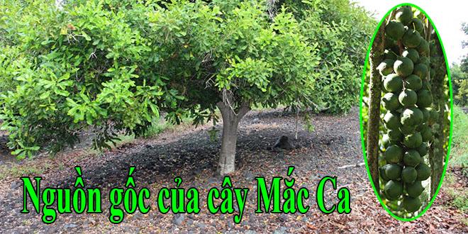 Tìm hiểu về nguồn gốc của cây Mắc Ca (Macadamia)