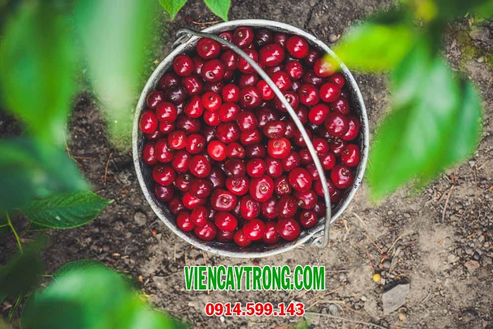 Bán giống Cherry Nam Mỹ - Cây Cherry nhiệt đới Brazil