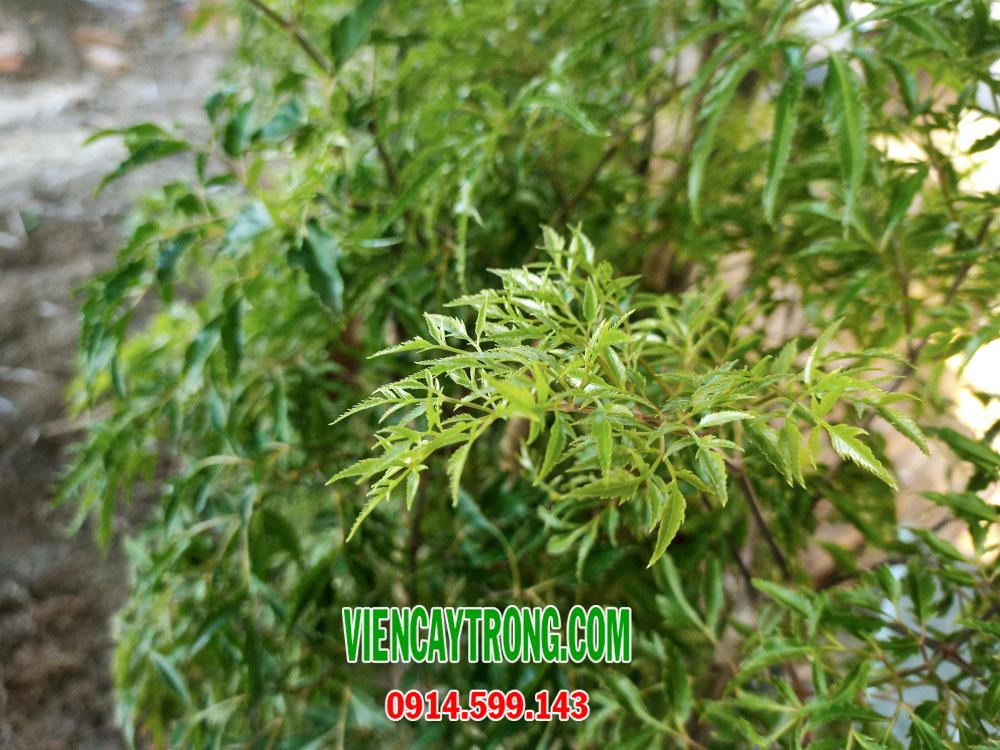 Bán giống cây đinh lăng – Dược liệu chữa bệnh
