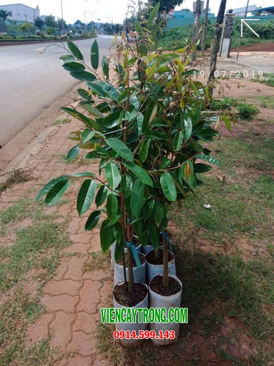 Bán giống sầu riêng ruột đỏ - Black Thorn Durian D200