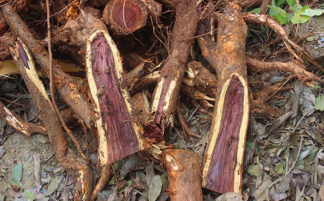 Bán giống sưa đỏ – Cây trồng rừng quý hiếm