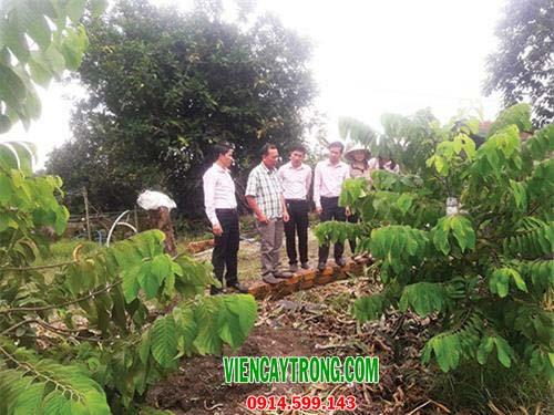 Bán giống na Đài Loan (Na Dứa) tiềm năng kinh tế cao
