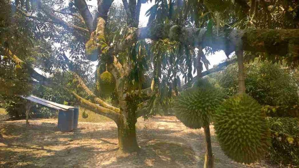 Sầu riêng Musang King có thể trồng được trên Việt Nam