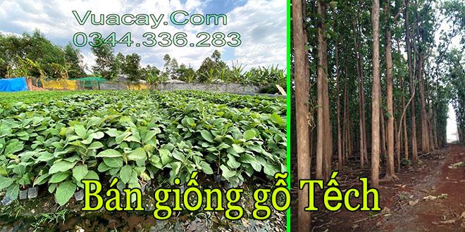 Bán giống gỗ tếch (Giá tỵ) trồng rừng giá trị cao