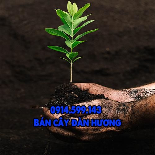 Bán cây giống đàn hương có hóa đơn chứng từ đầy đủ