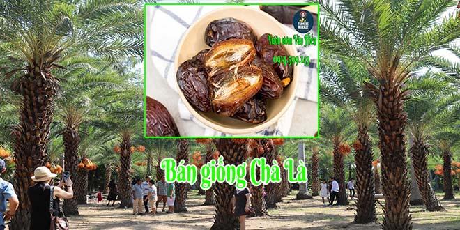 Bán giống cây chà là Trung Đông (Chà là Đà Lạt) vừa làm cảnh vừa tốt cho sức khoẻ
