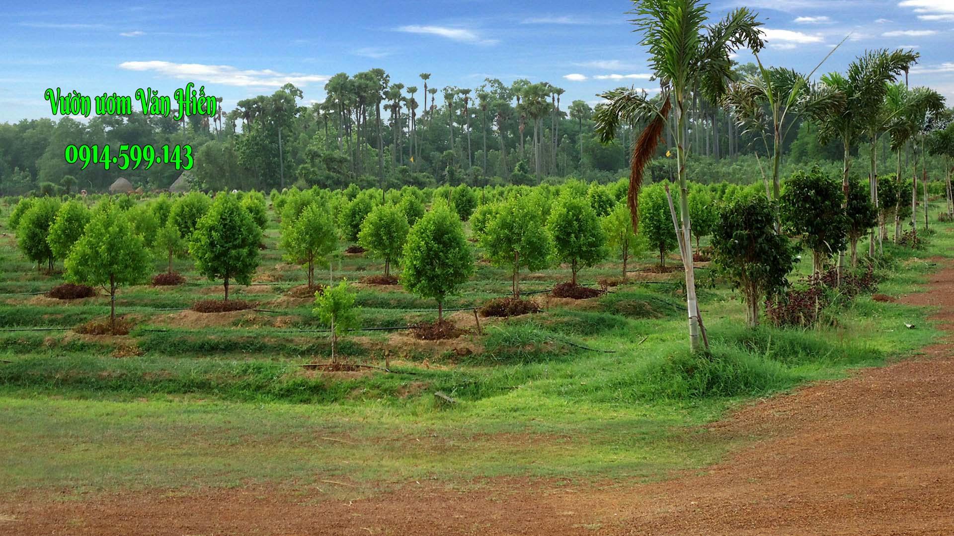 Mật độ trồng đàn hương như thế nào?