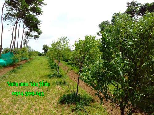 Đào hố trồng đàn hương ra sao?