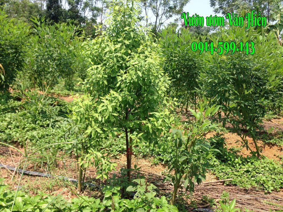 Kỹ thuật trồng và chăm sóc cây đàn hương, tài liệu mới giúp bà con canh tác tốt