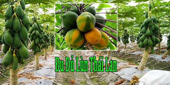 Bán giống đu đủ lùn Thái Lan siêu trái năng suất cao