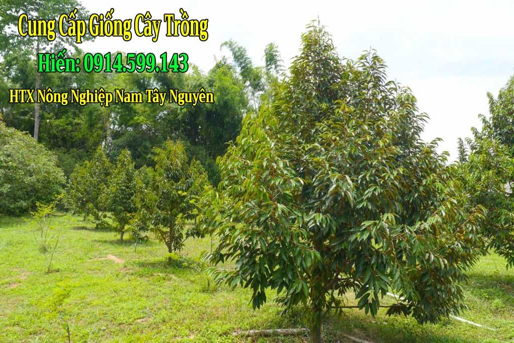 Bón phân gì cho cây sầu riêng lúc mới trồng