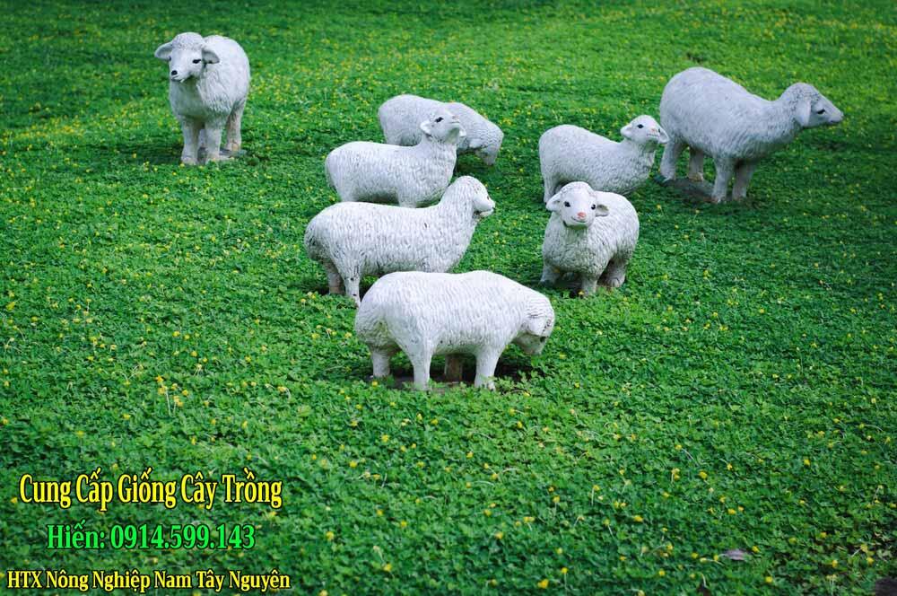 Bán Giống Cỏ Lạc Dại, Cỏ Đậu Phộng trồng thảm cỏ cảnh quan sân vườn
