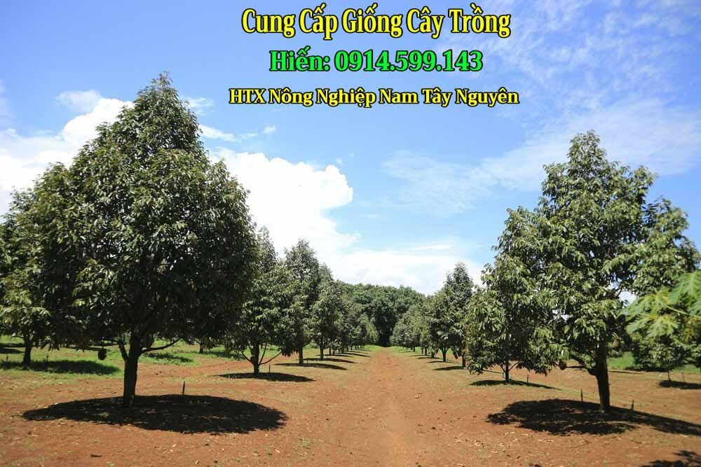 Bán giống sầu riêng Musang King vua của các dòng sầu riêng