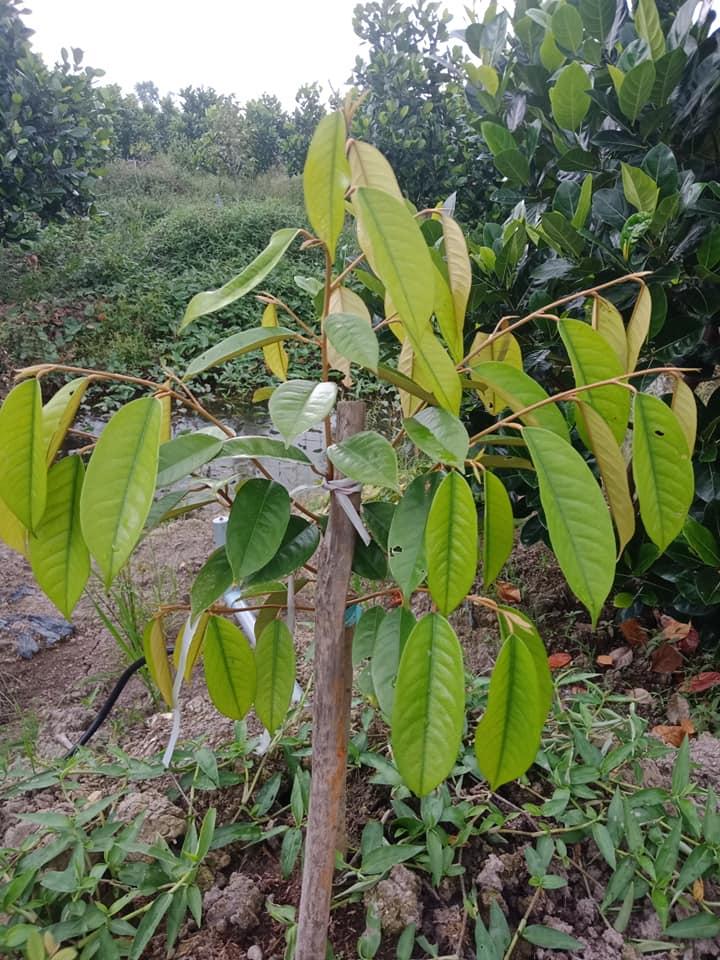 Sầu riêng trồng bị vàng lá? Xử lý như thế nào?